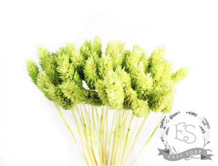 Сухоцвет фалярис стабилизированный салатовый