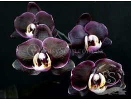 """Отдушка """"Черная орхидея"""""""