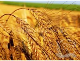 Гидролизат протеинов пшеницы (Италия)