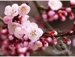 """Отдушка """"Цветы сакуры"""""""
