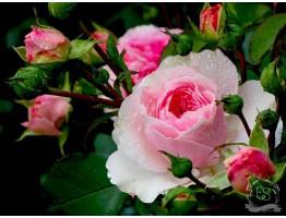Гидролат чайной розы (розовая вода)